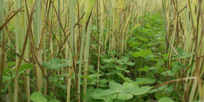 Couverts Végétaux D'interculture: Contraintes Ou Leviers?
