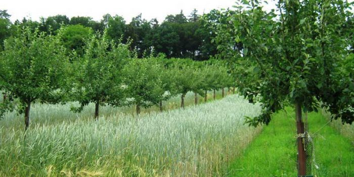 Agroforesterie : Cultiver à L'ombre Des Arbres, Quel(s) Intérêt(s) ?