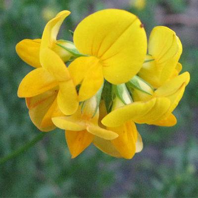 Lotier-fleur