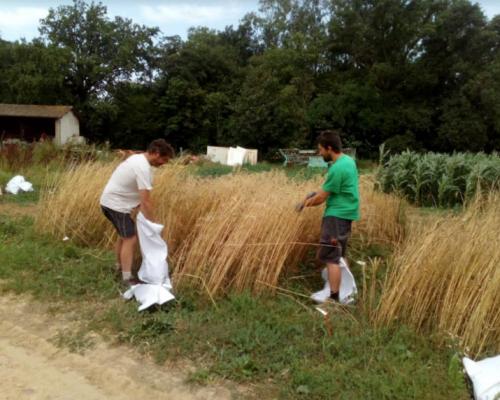 Graines-de-l-ain-bles-agroecologie-cda